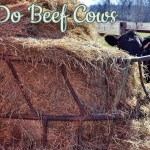 What Do Beef Cattle Eat?