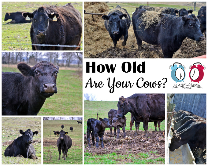 How Old Are Your Cows? on Alarm Clock Wars. I often get asked how old our cows are. We raise beef cows, and we have cows in a wide range of ages, from just a few days old to 15 years old!
