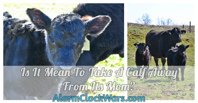 Is it Mean to Take a Calf Away From Its Mom? from My Fearless Kitchen. Part of raising cattle is taking the calves away from their moms. On dairy farms, this happens right after the calves are born. On beef farms, this usually happens when the calves are 6-8 months old.