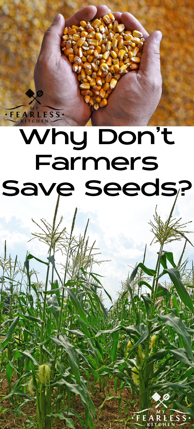 Why Don't Farmers Save Seed? from My Fearless Kitchen. Most farmers don't save seed from year to year to plant. Have you ever wondered why? It's not because anyone forces them to. It makes next year much easier!