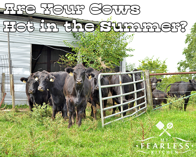 Are Your Cows Hot in the Summer? from My Fearless Kitchen. Beef cows stay outside all year, and they get hot in summer weather. Farmers and ranchers give beef cattle everything they need to stay cool in hot weather.