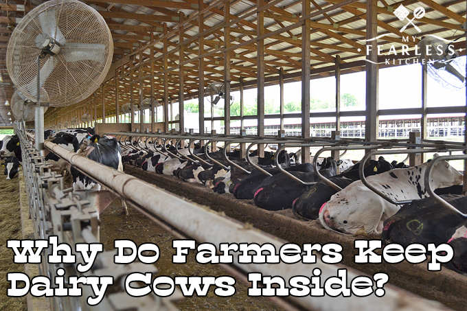 Why Do Farmers Keep Dairy Cows Inside From My Fearless Kitchen Have You Ever