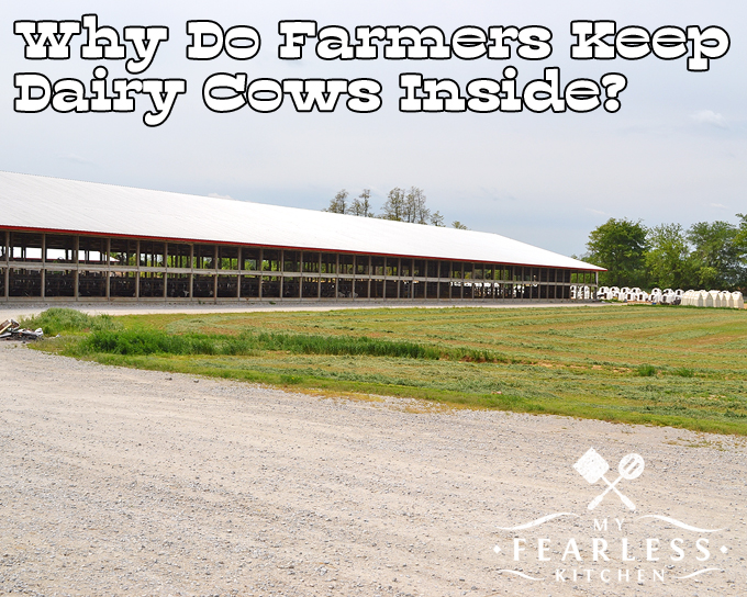 Why Do Farmers Keep Dairy Cows Inside? from My Fearless Kitchen. Have you ever wondered why most dairy cows live inside barns.? Farmers keep dairy cows inside so they can stay cool in the summer and warm in the winter.