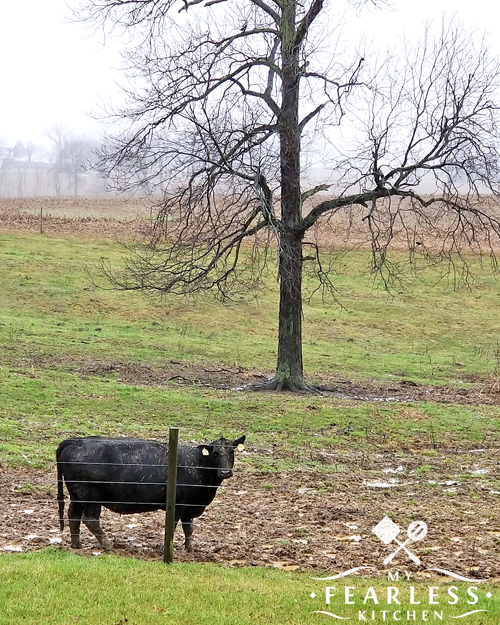 black angus cow in a wet and muddy spring pasture