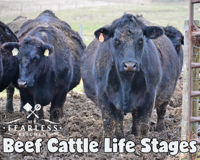 beef cattle life stages from my fearless kitchen  there are two main goals  of having