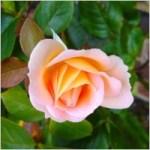 rose_rosebud_flower_221924