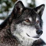 wolf - mrwallpaper.com