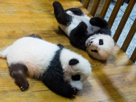 Two months old at Chengdu Research Base of Giant Panda Breeding.