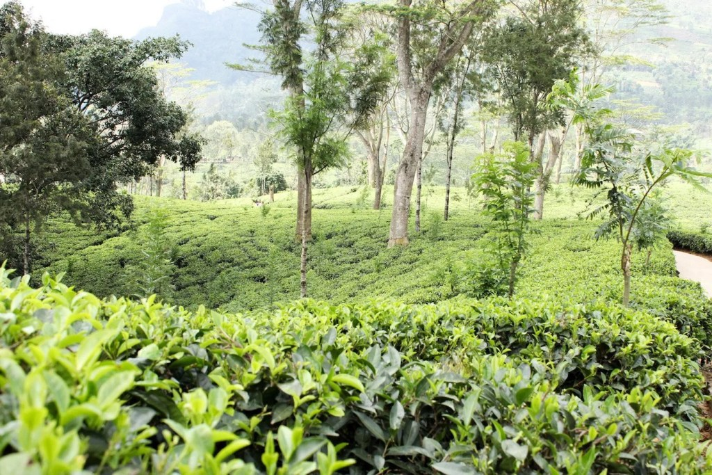 Tea Plantations in Nuwara Eliya Sri Lanka travel blog.