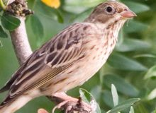 MyFrenchLife™ - MyFrenchLife.org - How to eat an ortolan - ortolan - French delicacies - gastronomy - ortolan bunting