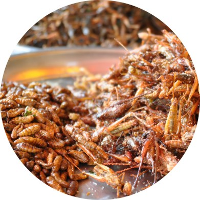 MyFrenchLife™ – MyFrenchLife.org – exploring Provence – La Motte – Var – edible insects – crickets – meal worms