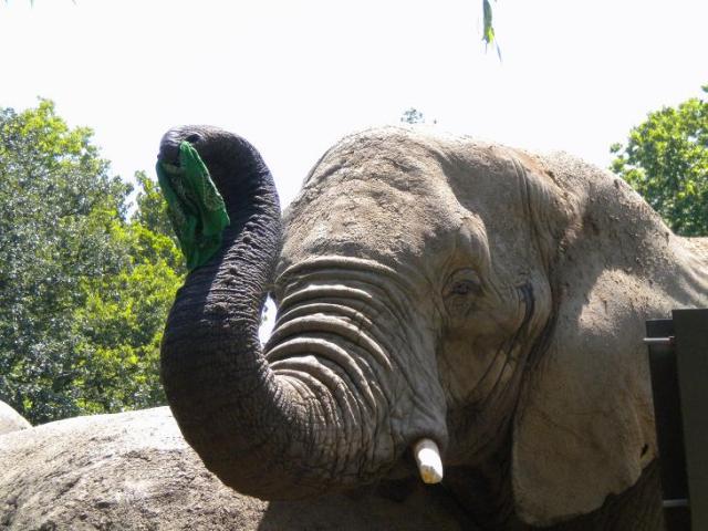 Kansas City Zoo elephant