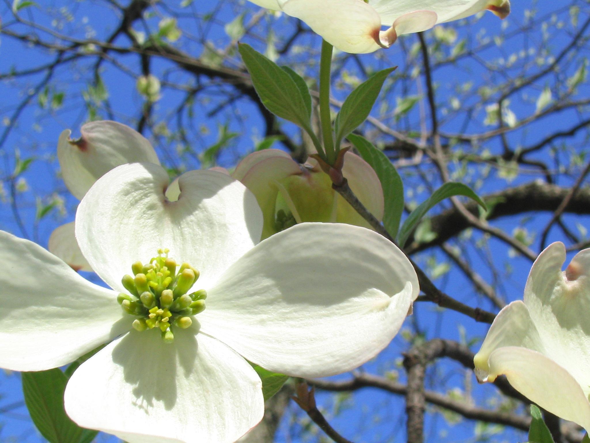 Flowers study guide freshplans dogwood izmirmasajfo