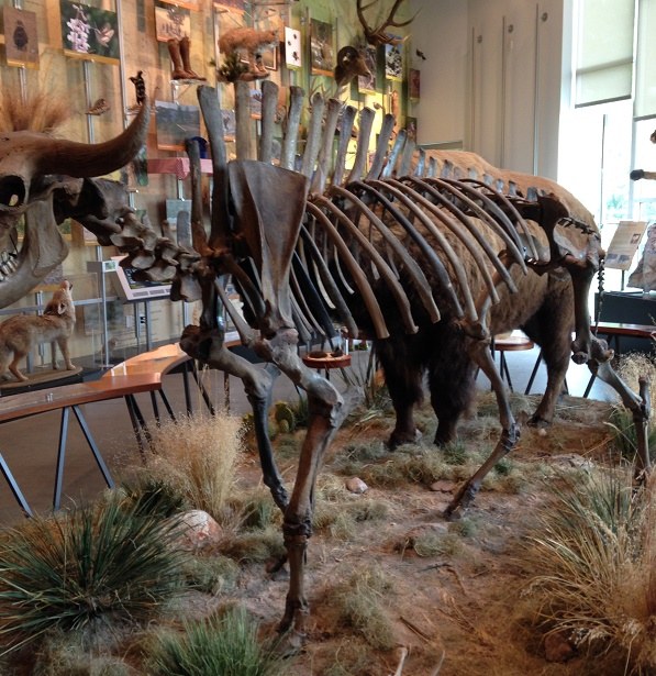 bison-skeleton