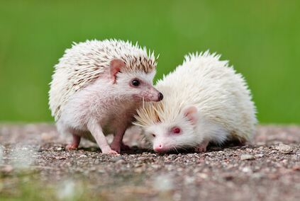 How to Take Care of a Hedgehog