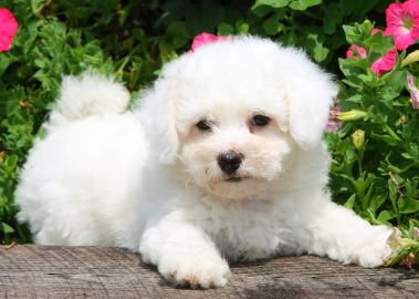 How Long do Bichons Live