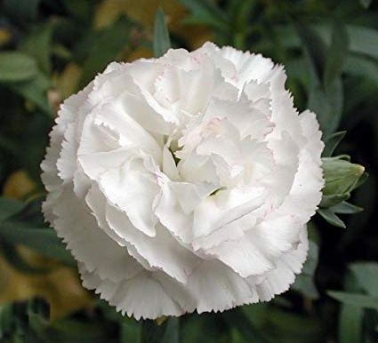 Carnation - Dianthus Caryophyllus - White – (20 to 30 seeds) - MGS1268