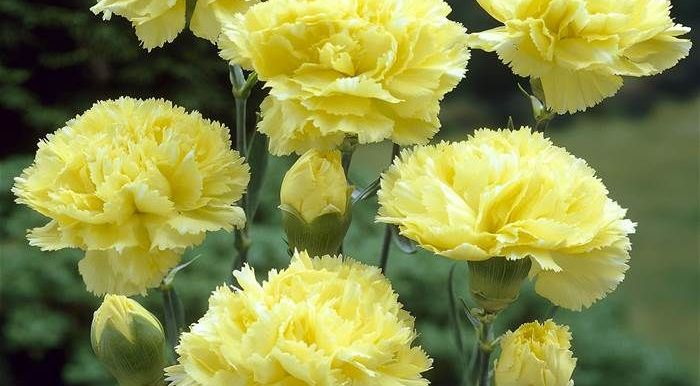 Carnation - Yellow – (20 to 30 seeds) - MGS1289