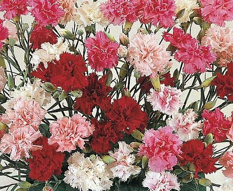 Indian Pinks - Dianthus Chinensis - Mixed Color – (40 to 60 seeds) - MGS1273