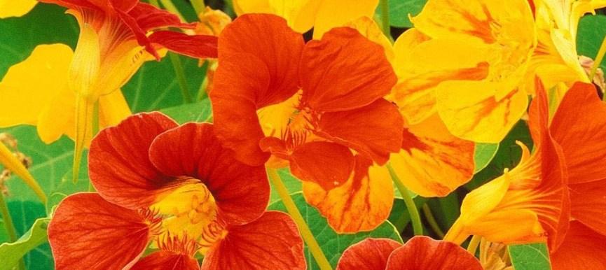 Nasturtium - Mixed Color - Premium – (05 seeds) - MGS1266