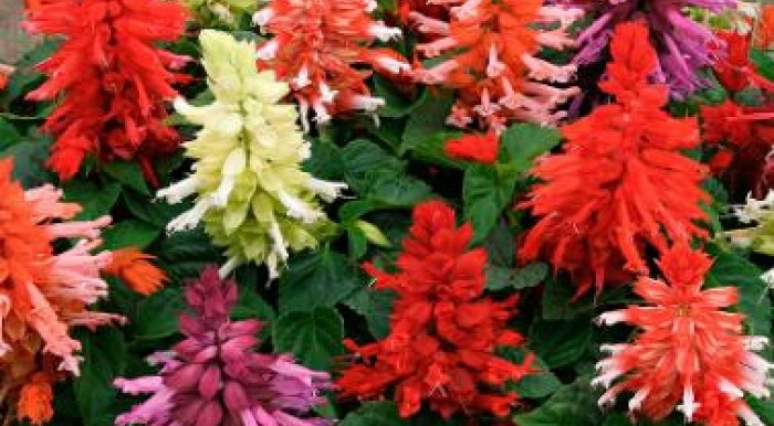 Salvia Mixed F1 Hybrid (Indian) - Seeds-বীজ - MGS1145