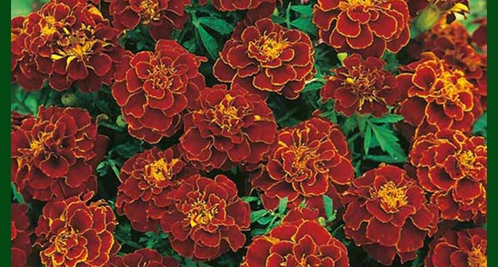 Marigold DBL Cherry Red – 50 seeds – Omaxe - Indian