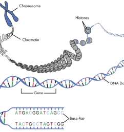 nucleotide gene dna double helix chromosome 13 getting started with genetic testing genetics 101 gene foodso how does dna provide the instructions to [ 1024 x 819 Pixel ]