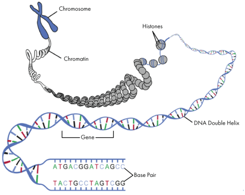 small resolution of  nucleotide gene dna double helix chromosome 13 getting started with genetic testing genetics 101 gene foodso how does dna provide the instructions to