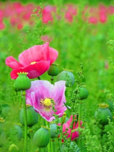 Poppy plant