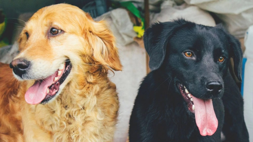 Golden retriever vs. Labrador. A golden retriever nd a Labrador sitting together in a grass field.