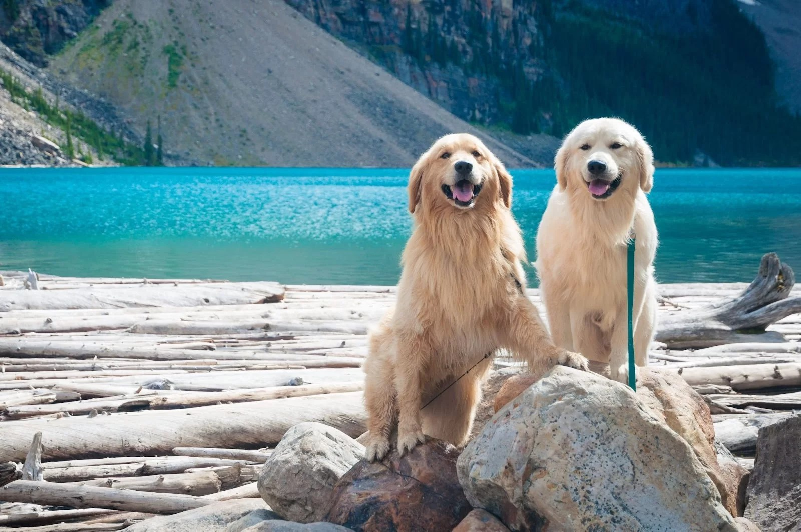 The Canadian Type Of Golden Retriever. Two of them hanging at a lake.