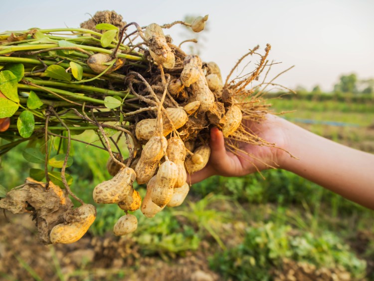 hoe groeit ons eten - pinda