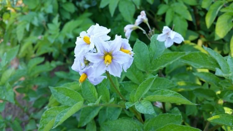 Bloem van de aardappelplant