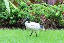 Der Ibis mit seinem langen schwarzen Schnabel spaziert in Sydney durch die Parks