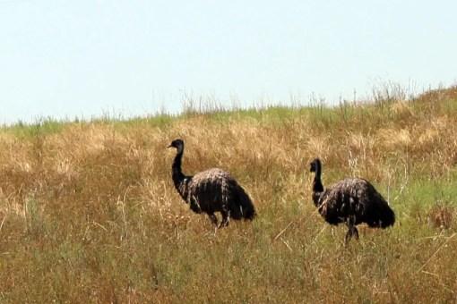 Der Emu ist Australiens größter Vogel und ziert auch das Wappen