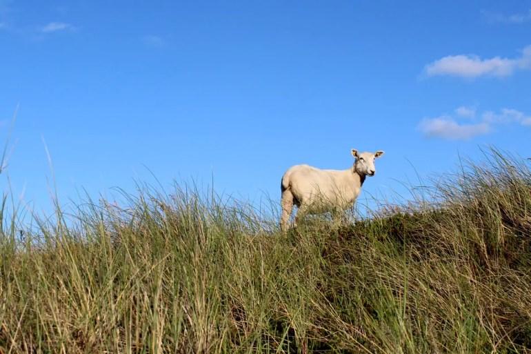 Ein Schaf am Sylter Ellenbogen