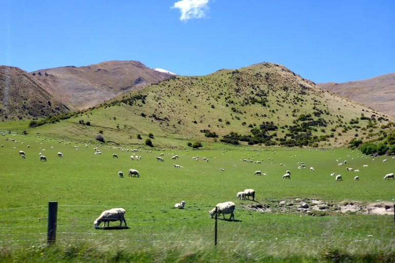 Ein neuseeländisches Klischee: weidende Schafe auf saftig-grünen Wiesen
