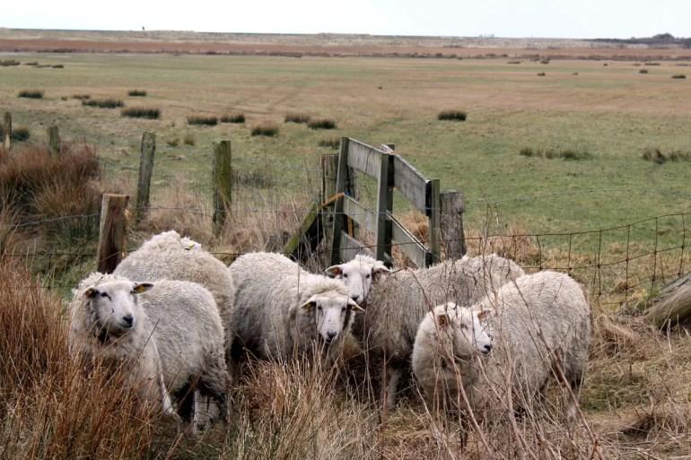 Die Schafe sorgen am Lister Ellenbogen auch imm Winter für kurzes Gras