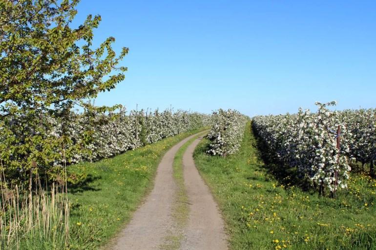 Im Alten Land laden viele Wege zu einer Radtour durch die Apfelfelder ein