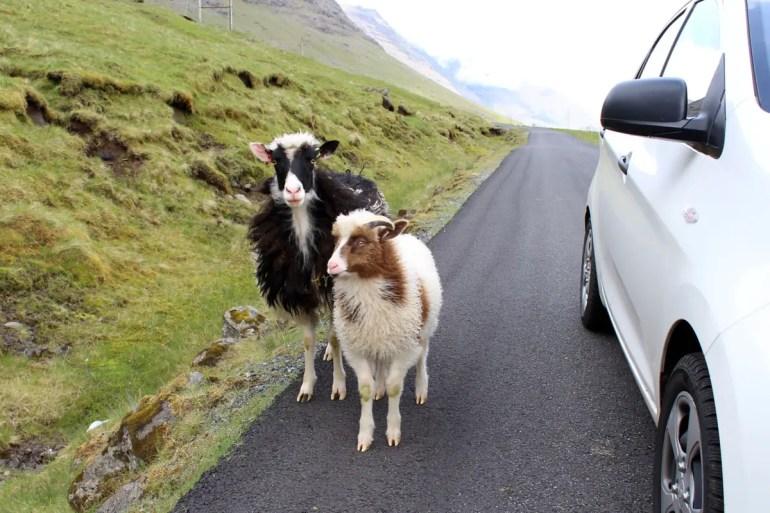 Achtung Autofahrer: Die Schafe laufen auf den Färöern frei über die Insel