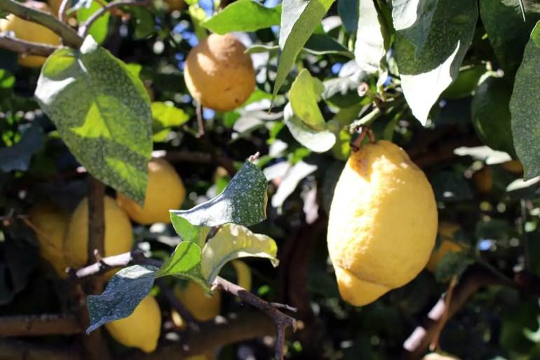 Capri ist überzogen von Zitronenbäumen