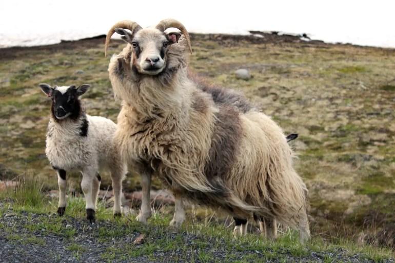 Neugierig: zwei Schafe am Straßenrand