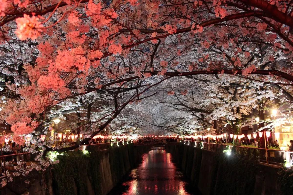 Die beleuchteten Kirschbäume entlang des Meguro Flusses sind ein Highlight zur Kirschblüte