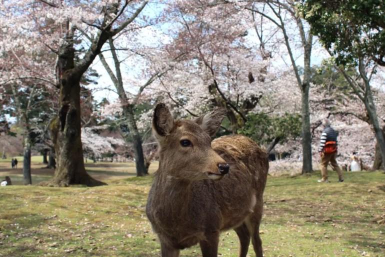 Die Hirsche sind in Nara in der gesamten Stadt präsent