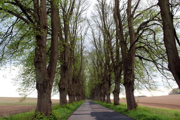 Auf Usedom findest du noch viele alte und von hohen Bäumen gesäumte Alleen - wie hier auf dem Weg nach Krummin
