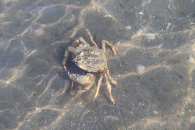 Typischer Wattbewohner: eine Strandkrabbe