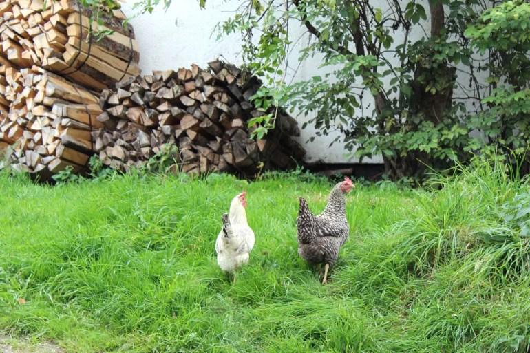 Hühner auf dem Maurach Hof
