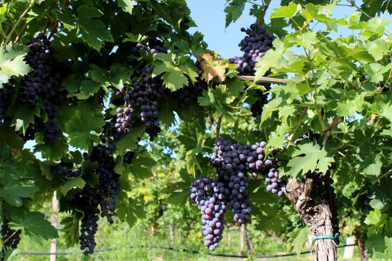 Rund um Bardoline wachsen die Weinreben