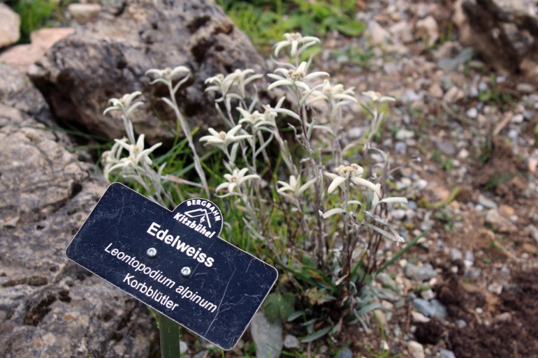 Edelweiss im Alpenblumengarten