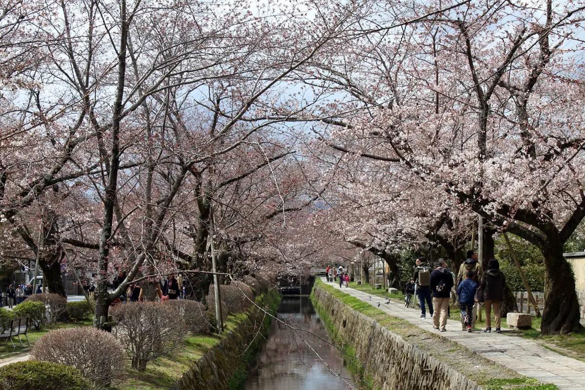 In Kypoto ist der Philosophen-Weg ein beliebtes Ziel zur Kirschblüte